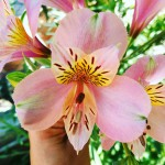 tropical flowers mygarden nature pink summerflowers beauty beautiful summervibes prettyhellip